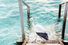 Uccello dell'airone che cerca pesce Immagini Stock Libere da Diritti