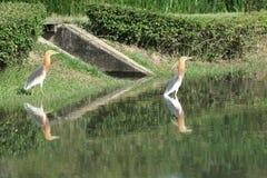 Uccello dell'airone dei due stagni Immagini Stock Libere da Diritti