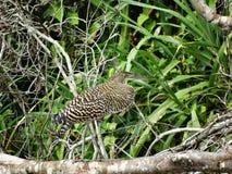 Uccello dell'airone della tigre Fotografia Stock Libera da Diritti