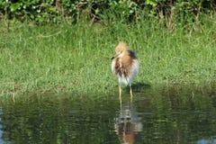 Uccello dell'airone dello stagno Fotografie Stock