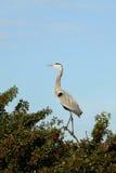 Uccello dell'airone di grande azzurro Fotografia Stock Libera da Diritti