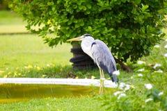 Uccello dell'airone di grande azzurro Fotografia Stock