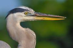 Uccello dell'airone di grande azzurro Fotografie Stock Libere da Diritti