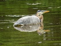 Uccello dell'airone di grande blu che riposa sull'acqua Fotografie Stock Libere da Diritti