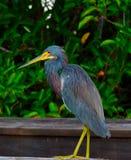 Uccello dell'airone di Tricolored Fotografie Stock Libere da Diritti