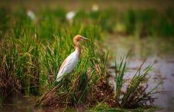 uccello dell'airone guardabuoi fotografia stock
