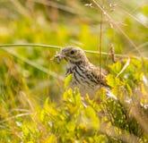 Uccello dell'allodola Immagini Stock Libere da Diritti