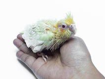Uccello dell'animale domestico del cockatiel del bambino Immagini Stock