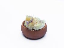 Uccello dell'animale domestico del cockatiel del bambino Immagini Stock Libere da Diritti