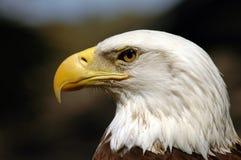 Uccello dell'aquila calva della preda Fotografia Stock