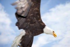 Uccello dell'aquila calva della preda Fotografie Stock Libere da Diritti