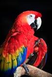 Uccello dell'ara Immagini Stock Libere da Diritti