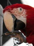 Uccello dell'ara macao Fotografia Stock Libera da Diritti