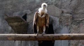 Uccello dell'avvoltoio immagine stock libera da diritti