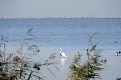 Uccello dell'egretta ed anatre bianchi, Lituania Fotografia Stock