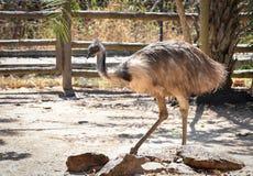 Uccello dell'emù Immagine Stock Libera da Diritti