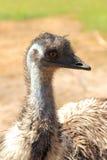 Uccello dell'emù Immagine Stock