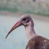 Uccello dell'ibis o di Hadeda Immagini Stock Libere da Diritti