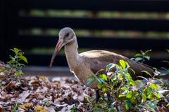 Uccello dell'ibis o di Hadeda Immagini Stock