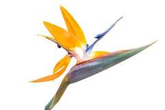 Uccello dell'isolato del fiore di paradiso Fotografie Stock