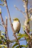 Uccello dell'occhio della cera Fotografie Stock Libere da Diritti