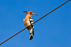 Uccello dell'upupa Fotografia Stock