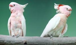 Uccello della cacatua rosa Fotografie Stock Libere da Diritti