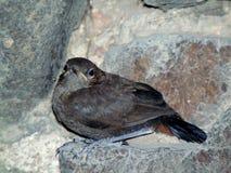 Uccello della caverna Immagini Stock