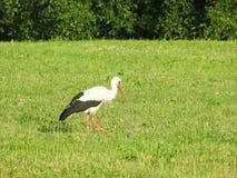 Uccello della cicogna in prato Immagini Stock Libere da Diritti