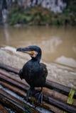 Uccello della Cina Cormorant Fotografia Stock Libera da Diritti