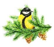 Uccello della cinciallegra sul brunch del pino Illustrazione dell'acquerello Fotografia Stock