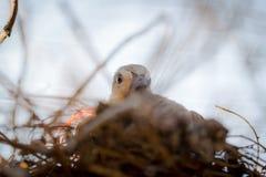 Uccello della colomba del bambino Fotografia Stock