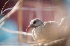 Uccello della colomba del bambino Fotografie Stock Libere da Diritti
