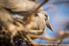 Uccello della colomba del bambino Immagine Stock Libera da Diritti