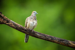 Uccello della colomba della zebra Fotografie Stock