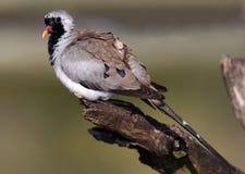 Uccello della colomba di Namaqua fotografie stock libere da diritti