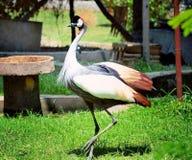 Uccello della corona Immagine Stock