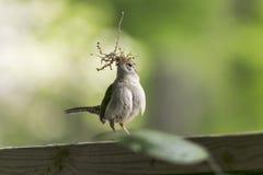 Uccello della costruzione del nido con muschio Fotografia Stock