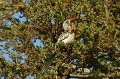 Uccello della fattura di Horn Immagini Stock