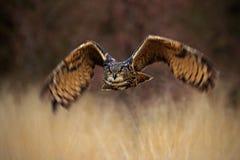 Uccello della foresta di volo, eurasian Eagle Owl, bubo del Bubo, uccello di volo con le ali aperte nel prato dell'erba, foresta  Fotografia Stock Libera da Diritti