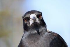 Uccello della gazza australiana del primo piano dell'ente superiore e di colpo in testa Fotografie Stock Libere da Diritti