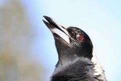 Uccello della gazza australiana del primo piano dell'ente superiore e di colpo in testa Immagine Stock