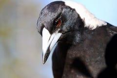 Uccello della gazza australiana del primo piano di profilo di colpo in testa e dell'ente superiore Fotografia Stock Libera da Diritti