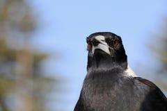 Uccello della gazza australiana del primo piano di profilo di colpo in testa e dell'ente superiore Fotografia Stock
