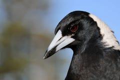 Uccello della gazza australiana del primo piano di profilo di colpo in testa e dell'ente superiore Fotografie Stock Libere da Diritti