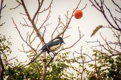 Uccello della gazza sull'albero di cachi sulla via nella città di Jeju, J Immagini Stock