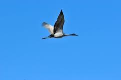 Uccello della gru di Sandhill durante il volo Fotografia Stock