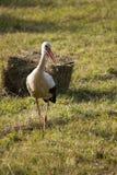 Uccello della gru sul campo Fotografia Stock