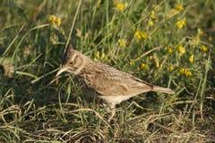 Uccello della lodola Fotografia Stock Libera da Diritti
