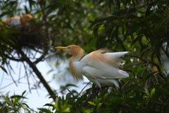 Uccello della madre Immagini Stock